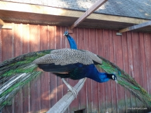 Mr. Peacock And George